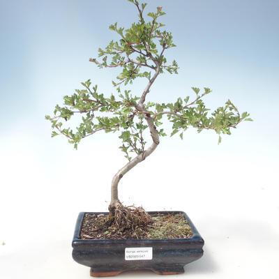 Outdoor bonsai - Hawthorn single seed VB2020-547