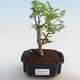 Kryty bonsai - Zantoxylum piperitum - ziarno pieprzu - 1/5