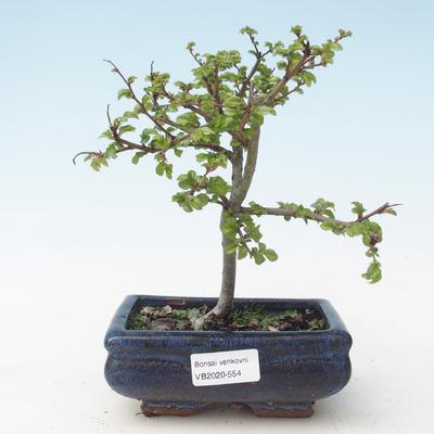 Outdoor bonsai-Ulmus parviflora-Glina drobnolistna VB2020-554