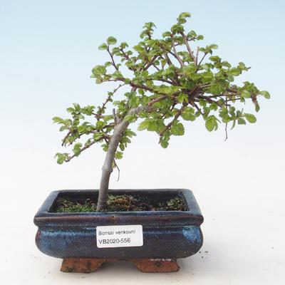 Outdoor bonsai-Ulmus parviflora-Glina drobnolistna VB2020-556