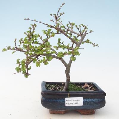 Outdoor bonsai-Ulmus parviflora-Glina drobnolistna VB2020-557