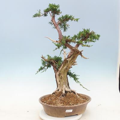 Outdoor bonsai - Juniperus chinensis - chiński jałowiec - 1
