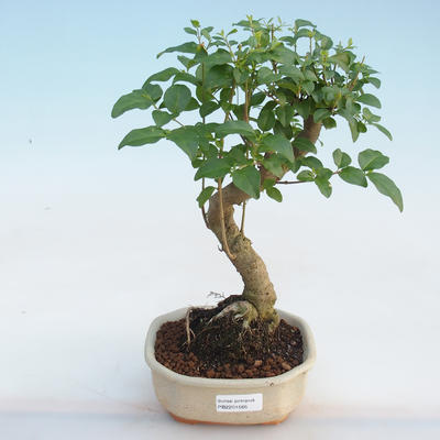 Kryty bonsai -Ligustrum chinensis - dziób ptaka