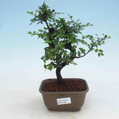 Kryty bonsai - Ulmus parvifolia - Wiąz mały liść - 1