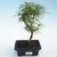 Outdoor bonsai -Pseudolarix amabis-Pamodřín - 1/3