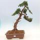 Outdoor bonsai - Juniperus chinensis - chiński jałowiec - 1/6