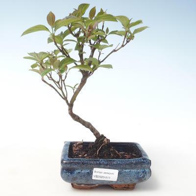 Outdoor bonsai - Dereń - Cornus mas VB2020-511 - 1