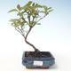 Outdoor bonsai - Dereń - Cornus mas VB2020-511 - 1/2
