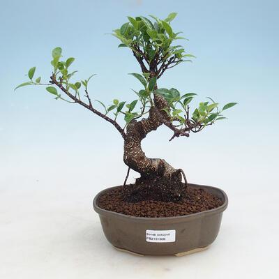 bonsai Room - kimmen Ficus - malolistý ficus - 1