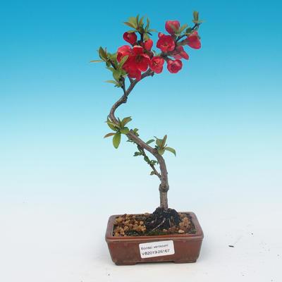 Outdoor bonsai - Chaneomeles japonica - japońska pigwa - 1