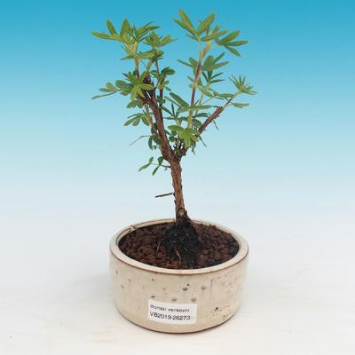 Odkryty bonsai pięciornik - Dasiphora fruticosa żółty - 1
