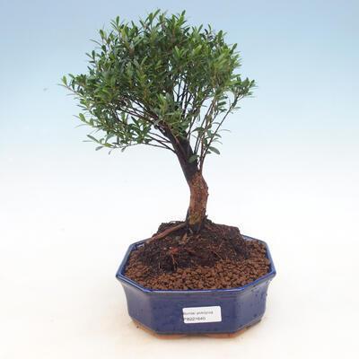 Pokój bonsai - Syzygium - Pimentovník - 1