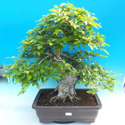 Na zewnątrz bonsai-Karpiny KARPINOWE - Koreański Grab - 1