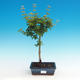 Outdoor bonsai - Acer palmatum SHISHIGASHIRA- klon mniejszy - 1/3