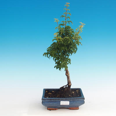 Outdoor bonsai - Acer palmatum SHISHIGASHIRA- klon mniejszy - 1