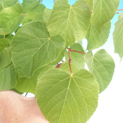 Outdoor bonsai - lipa drobnolistna - 1
