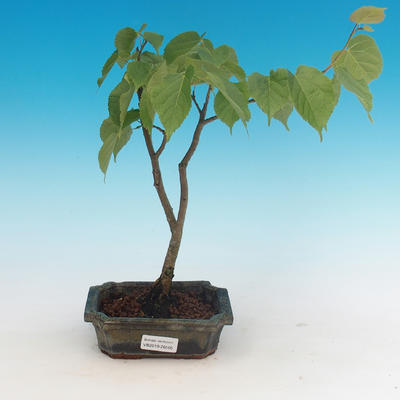 Outdoor bonsai - lipa drobnolistna - 1