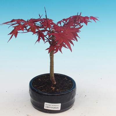 Outdoor bonsai - Klon palmatum DESHOJO - Klon dlanitolistý - 1