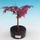 Outdoor bonsai - Klon palmatum DESHOJO - Klon dlanitolistý - 1/3