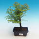 Outdoor bonsai - Dwuliniowy leszcz - 1/4