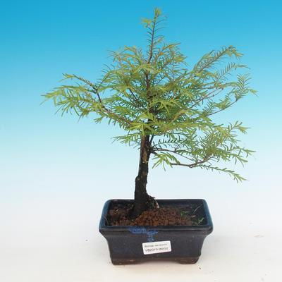 Outdoor bonsai - Dwuliniowy leszcz - 1