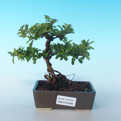Outdoor Bonsai-Pyracanta Teton-Piekarnia - 1