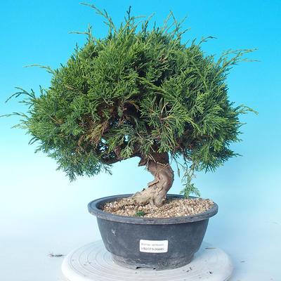 Odkryty bonsai - Juniperus chinensis ITOIGAWA - chiński jałowiec - 1