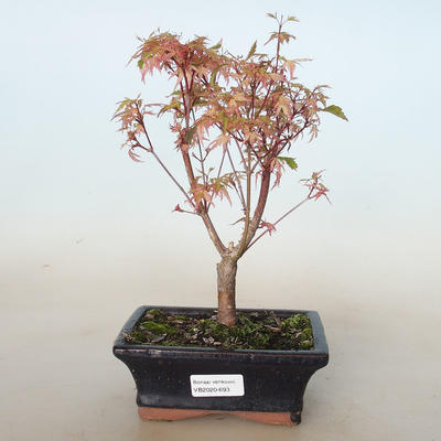 Outdoor bonsai - Acer palmatum Butterfly VB2020-693 - 1