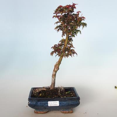 Outdoor bonsai - Acer palmatum SHISHIGASHIRA- Mały klon VB-26954 - 1