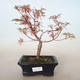 Outdoor bonsai - Acer palmatum Butterfly VB2020-701 - 1/2
