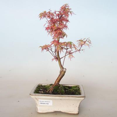 Outdoor bonsai - Acer palmatum Butterfly VB2020-702 - 1