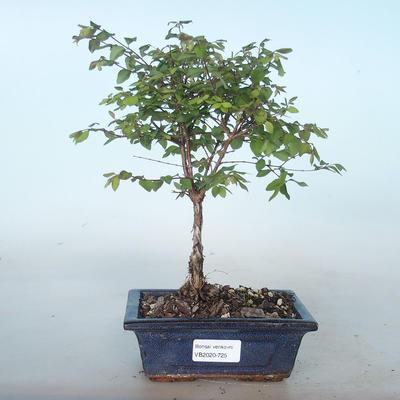 Outdoor bonsai Pámelník - symphoricarpos chenaultii hancock VB2020-725 - 1
