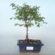 Outdoor bonsai Pámelník - symphoricarpos chenaultii hancock VB2020-725 - 1/2