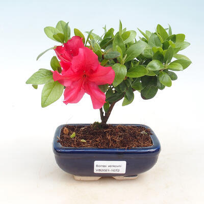 Outdoor bonsai - Rhododendron sp. - Różowa azalia
