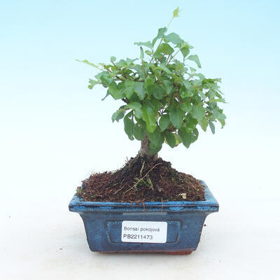 Outdoor bonsai - Rhododendron sp. - Różowa azalia