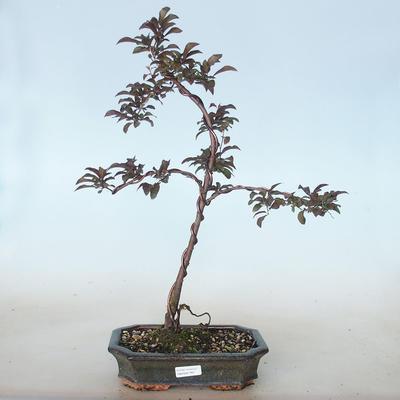 Outdoor bonsai - Prunus spinosa purpurea - Tarnina zwyczajna VB2020-765