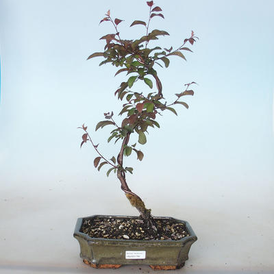 Outdoor bonsai - Prunus spinosa purpurea - Tarnina zwyczajna VB2020-766