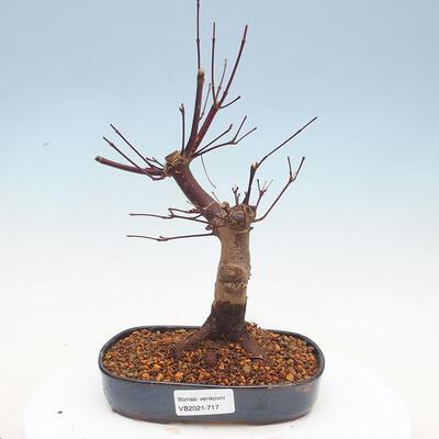 Outdoor bonsai - Klon palmatum DESHOJO - Klon japoński - 1