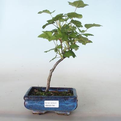 Outdoor bonsai - Porzeczka - Ribes sanguneum VB2020-780 - 1