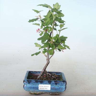 Outdoor bonsai - Porzeczka - Ribes sanguneum VB2020-781 - 1