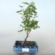 Outdoor bonsai - Porzeczka - Ribes sanguneum VB2020-781 - 1/2