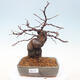 Outdoor bonsai - Pseudocydonia sinensis - Pigwa chińska - 1/7