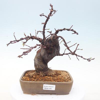 Outdoor bonsai - Pseudocydonia sinensis - Pigwa chińska - 1