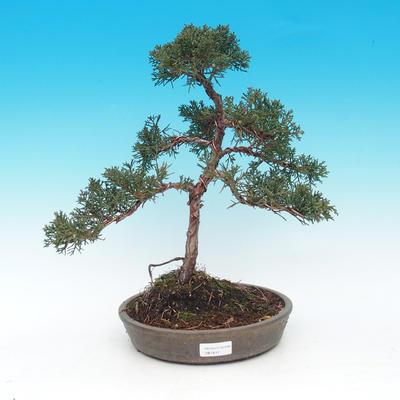 Outdoor bonsai - jałowiec chiński Chiński -Jalovec