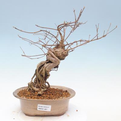 Outdoor bonsai - piękny Callicarpa - 1