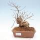 Outdoor bonsai - piękny Callicarpa - 1/6