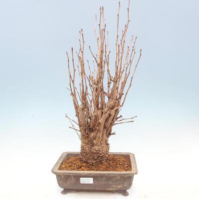 Outdoor bonsai - Ginkgo biloba - 1