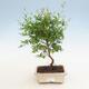 Pokój bonsai-PUNICA granatum nana-granat - 1/4