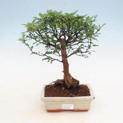 Kryty bonsai - Zantoxylum piperitum - Drzewo pieprzowe - 1