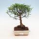 Kryty bonsai - Zantoxylum piperitum - Drzewo pieprzowe - 1/4